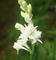 5 Bulbi di Polianthes tuberosa THE PEARL - PROFUMATISSIMA