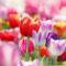 Kisshes Giardino - 100 Pezzi Bulbi di tulipano Semi di fiori Bulb Semi di fiori colorati T...