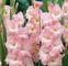 CUSHY Gladiolo Bulbi -Rose SUPREME, 10 lampadine, rosa Rosy con tocchi di crema