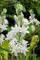 Bulbi da Fiore ALTA QUALITA' per fioritura PRIMAVERILE - ESTIVA - AUTUNNALE (5, Polianthes...