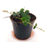 HOYA SERPENS, pianta giovane, pianta vera