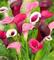 Potseed . 100 Pz Calla, Calla Fiore, Rare Piante da Fiore (Non Calla Bulbi), la Crescita N...