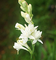 10 Bulbi di Polianthes tuberosa THE PEARL - profumatissima tuberosa a fiore doppio