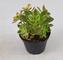 Pianta Grassa Aeonium Haworthii
