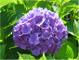 Ortensia, viola ortensia Seeds - Treasuresbylee - 50