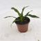 Pianta Yucca Gloriosa