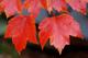 "Albero di Acero Rosso""Acer Rubrum October Glory"" Acero Scarlatto h. 80/100 cm"