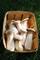 vegherb Re Oyster Mushroom (Pleurotus eryngii) micelio Spore Spawn Semi essiccati (10G)