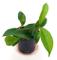 HOYA CARNOSA, pianta giovane, pianta vera