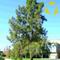 Fiume SHE-Oak Casuarina cunninghamiana - 30+ Seeds. S & H libero