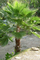 "Washingtonia robusta""Palma Messicana"" in vaso ø14 cm"