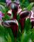 Bulbi da Fiore ALTA QUALITA' per fioritura PRIMAVERILE - ESTIVA - AUTUNNALE (1, Calla Nera...