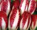 200 Semi di Radicchio di Treviso Rossa - Cichorium intybus