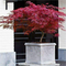 """Acero Rosso Giapponese""""Acer Palmatum Dissectum Firecracker"""" in vaso ø20 cm"""