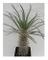 Shop Meeko Pachypodium mikea - madagascar palma - 3 semi