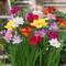 Bulbi da Fiore ALTA QUALITA' per fioritura PRIMAVERILE - ESTIVA - AUTUNNALE (25, Fresia in...