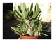 Shop Meeko 5 semi: Pachypodium densiflorum var. brevicalyx - madagascar palma - 5 semi