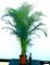 ARECA, PALMA DI ARECA XXL esemplare di altezza 200cm, pianta vera