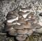 GEOPONICS SEMI grigio ostrica micelio spore Progenie, Pleurotus ostreatus Seed Spawn (2 pe...