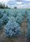 "Abete Picea Pungens""Super Blue Seedling"" in vaso ø14 cm h.30/40 cm"