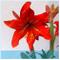 ZLKING 1 pc/pacchetto Big vero Amaryllis Bulbi interna ed esterna in vaso Fiori Piante Flo...