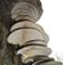 Semi grigio ostrica funghi (Pleurotus ostreatus) micelio spore Spawn essiccatoVendiamo