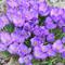 Seedsown CROCUS IMPORTATI Bulbi da fiore Seed