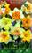 BULBI AUTUNNALI NARCISO SPLIT CORONA MIX DI COLORI CONFEZIONE DA 5 BULBI BULBS BULBES