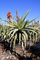 Vonderweid - Pianta di Aloe Arborescens Disintossicante, Rigenerante e Ornamentale