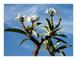 Shop Meeko Pachypodium rutenbergianum - madagascar palma - 3 semi