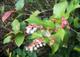 Gaultheria shallon COMMESTIBILI Semi arbusto nativo!