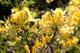 15 Giant Giallo Azalea Seeds * rododendro * 6' a 10' Ft. * Dolce fragrante * appariscente...