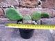 Opuntia humifusa 20 cm, cactus, pianta grassa winter hard, resistente fino a -20°C