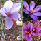 ASTONISH I semi della confezione: 100Pcs: Semi di giardino domestiche di zafferano Bulbi C...