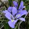 1 Iris unguicularis - Rizoma