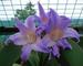bulbi Amaryllis veri, Hippeastrum lampadine lampadine bonsai fiore Amarilis Rizomas bulbos...