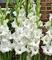 ASTONISH Sgomento SEMI: : I bulbi gladioli importati sono adatti per piante in vaso (non è...