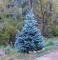 50seeds/bag I veri Colorado Blue Spruce Albero semi-Picea pungens -Bonsai piante in vaso b...