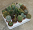 piante grasse mix cactus e succulente mix da 20 pz vaso diametro 5 MONDONATURA SRL