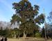 Fiume She-Oak, Casuarina cunninghamiana, 150 semi di albero (Fast, Evergreen)