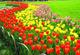 Pinkdose bulbi di tulipano Vero, la varietà bulbi freschi tulipani, bulbi di fiori di alta...