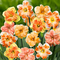"""15x Narcissus""""Flower Power""""   Narciso Bulbi   Fiori rosa-arancio-giallo   Bulbi a fioritur..."""