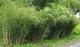Rare Fresh Ombrello di bambù (Fargesia spathacea Franch) 100 + semi SELLER US