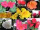 Colori 20+ tuberosa Begonia semi misti