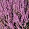 25 semi - Calluna Vulgaris Seed, erica scozzese, un tappezzanti sempreverdi o basso arbust...