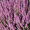 Calluna Vulgaris Seed, erica scozzese, una copertura di terra sempreverdi o arbusto basso.